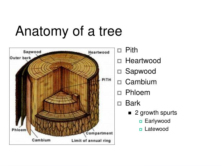 Anatomy of a tree