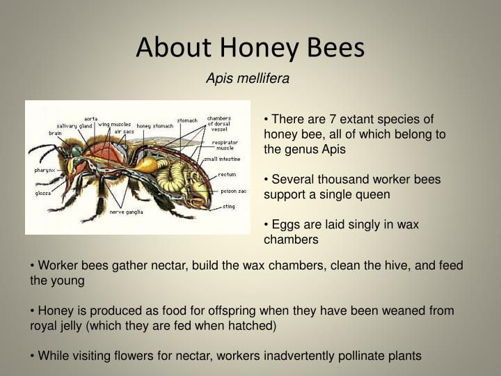 About Honey Bees