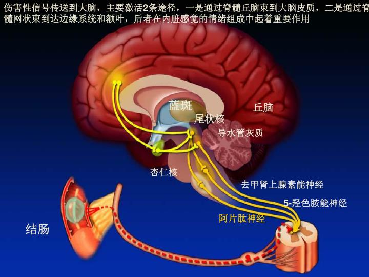 伤害性信号传送到大脑,主要激活