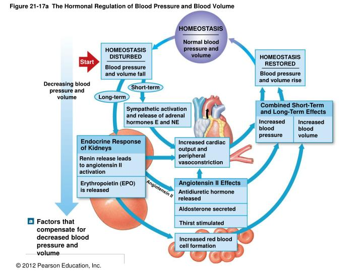PPT - Figure 21-8 An Overview of Cardiovascular Physiology ...