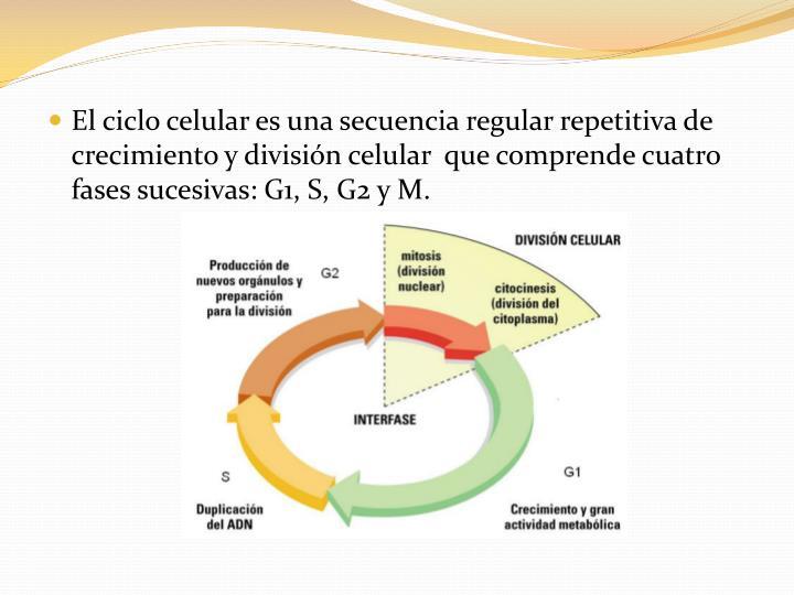 El ciclo celular es una secuencia regular repetitiva de crecimiento y división celular  que comprende cuatro fases sucesivas: G1, S, G2 y M.
