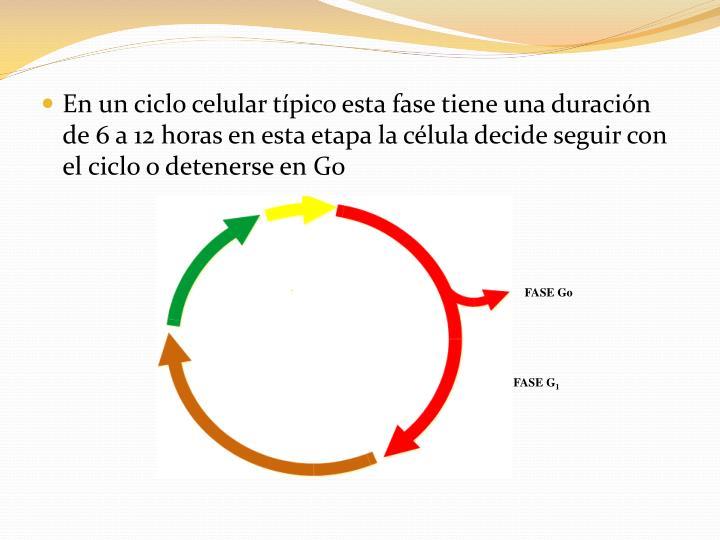 En un ciclo celular típico esta fase tiene una duración de 6 a 12 horas en esta etapa la célula decide seguir con el ciclo o detenerse en G0