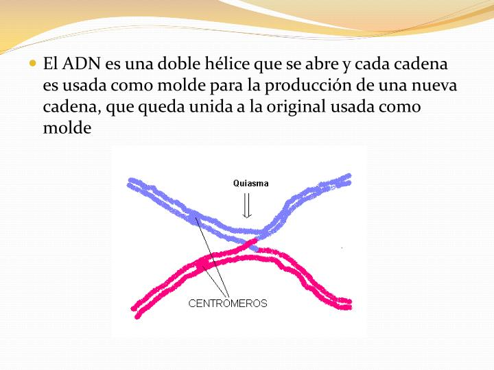 El ADN es una doble hélice que se abre y cada cadena es usada como molde para la producción de una nueva cadena, que queda unida a la original usada como molde