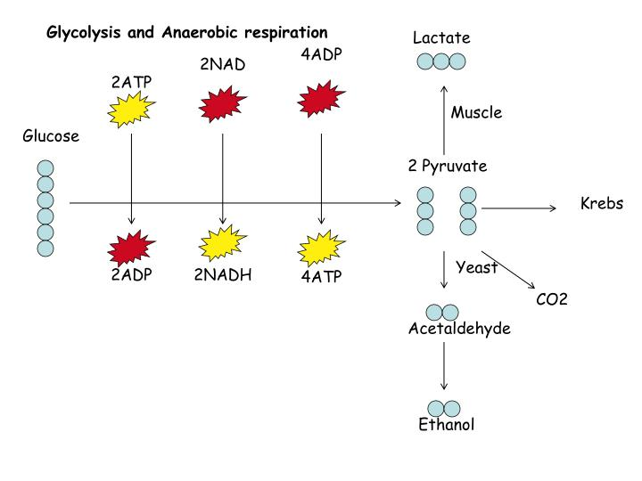 Glycolysis and Anaerobic respiration