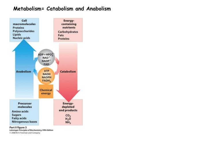 Metabolism= Catabolism and Anabolism
