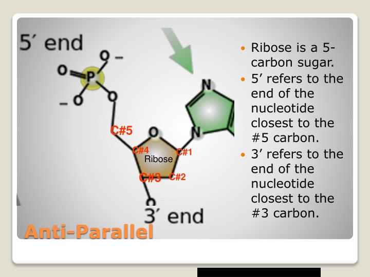 Ribose is a 5-carbon sugar.