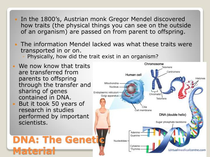 In the 1800's, Austrian monk Gregor Mendel discovered how traits (the physical things you can see on the outside of an organism) are passed on from parent to offspring.