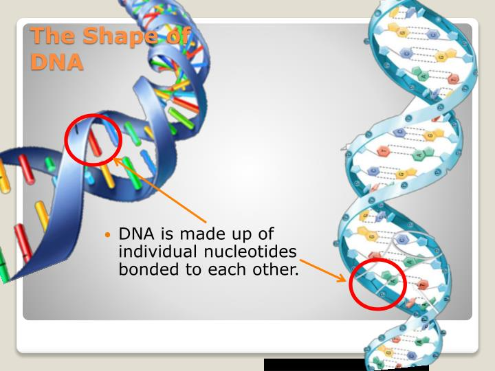 DNA is made up of individual nucleotides bonded to each other.