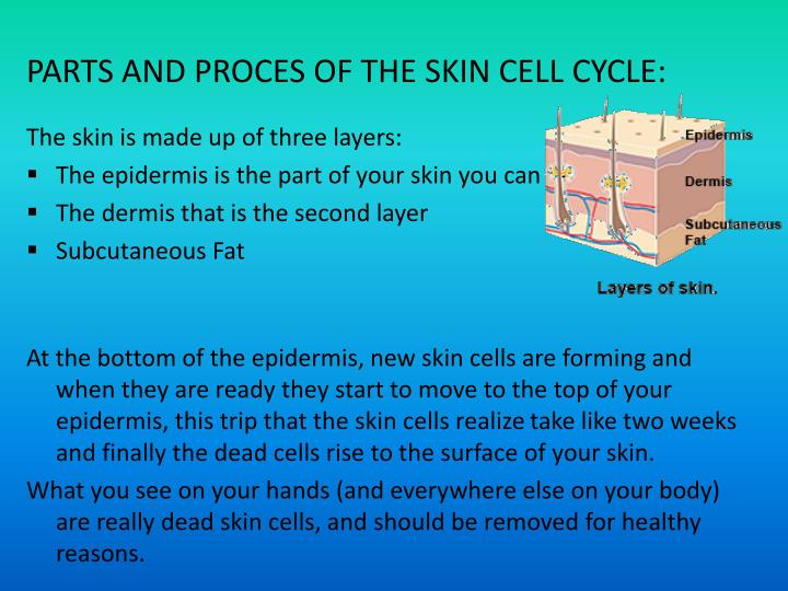 PARTS AND PROCES OF THE SKIN CELL CYCLE:
