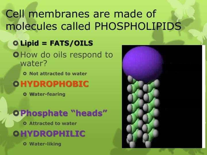 Cell membranes are made of molecules called PHOSPHOLIPIDS
