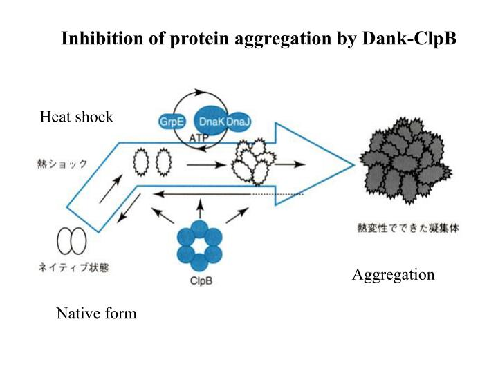 Inhibition of protein aggregation by Dank-ClpB