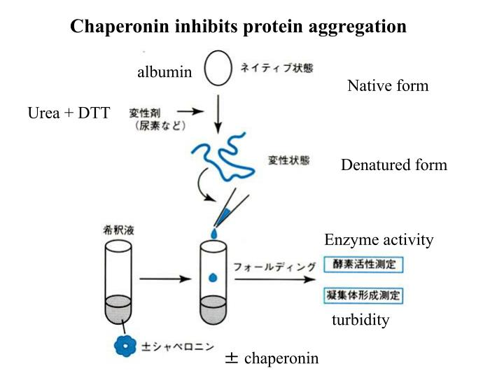 Chaperonin inhibits protein aggregation