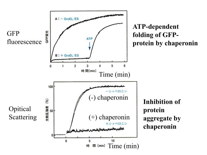ATP-dependent folding of GFP-protein by chaperonin