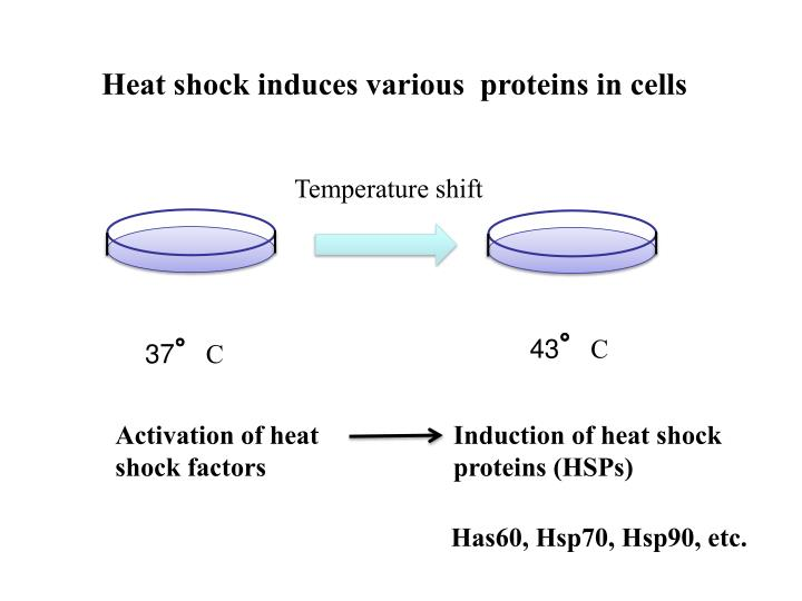 Heat shock induces various  proteins in cells