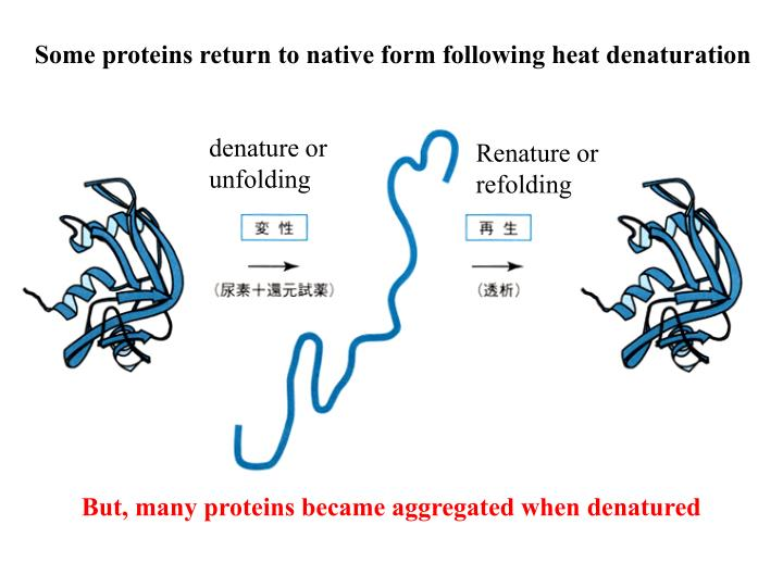 Some proteins return to native form following heat denaturation