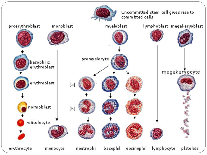 Physiology of the blood
