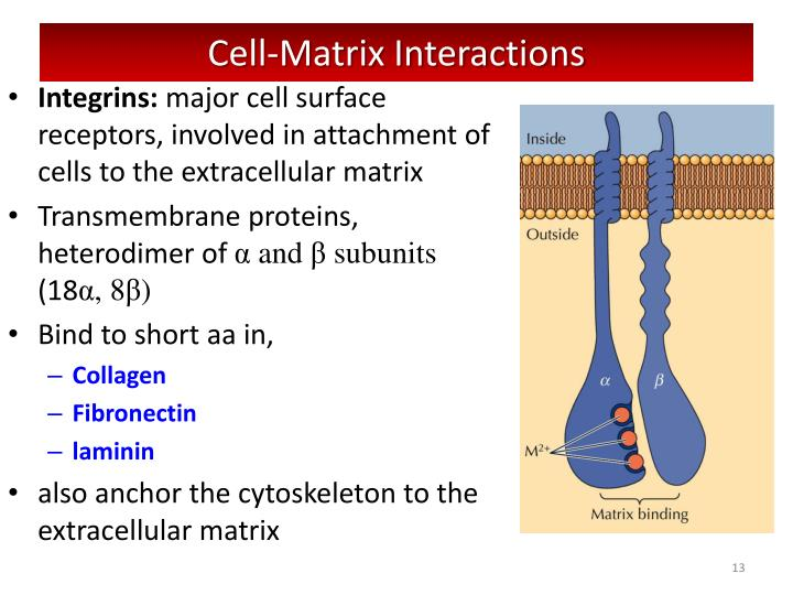 Cell-Matrix Interactions