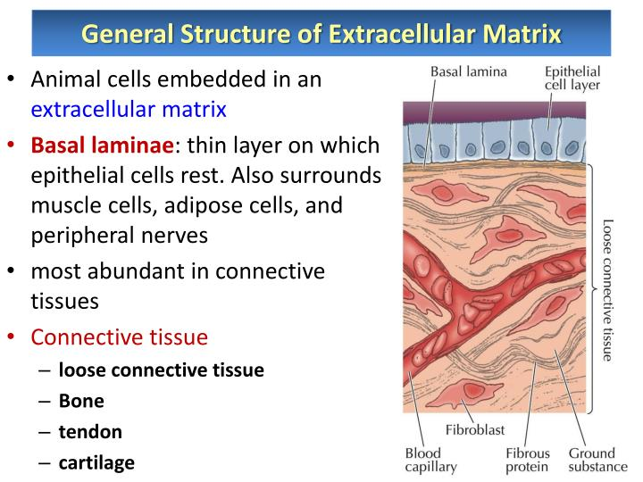 General Structure of Extracellular Matrix