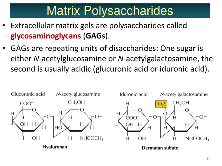 Extracellular matrix gels are polysaccharides called