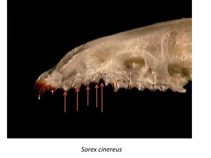 Shrew teeth