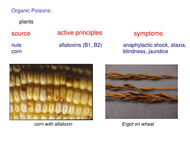 corn with aflatoxin