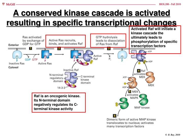A conserved kinase cascade is activated resulting in specific transcriptional changes