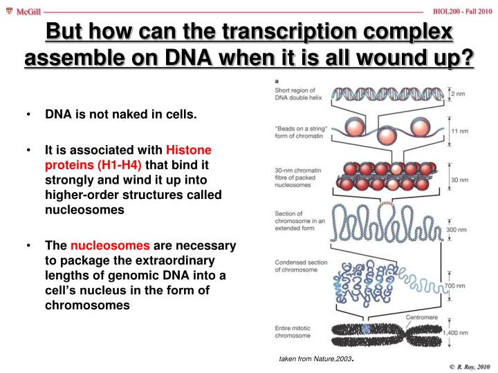 But how can the transcription complex assemble on DNA when it is all wound up?
