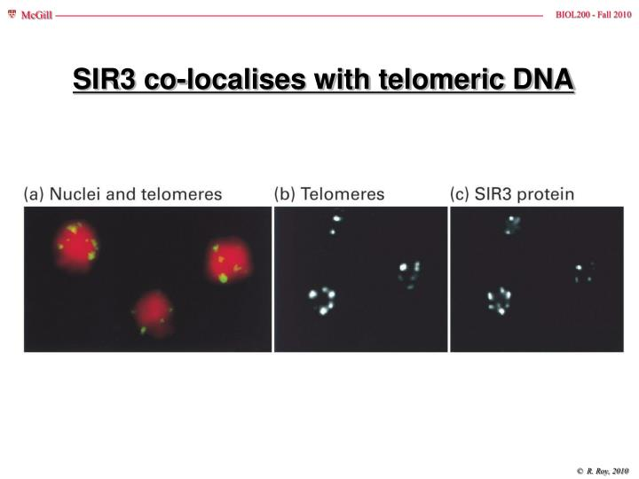 SIR3 co-localises with telomeric DNA