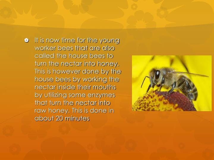 It is now time for the young worker bees that are also called the house bees to turn the nectar into honey. This is however done by the house bees by working the nectar inside their mouths by utilizing some enzymes that turn the nectar into raw honey. This is done in about 20 minutes