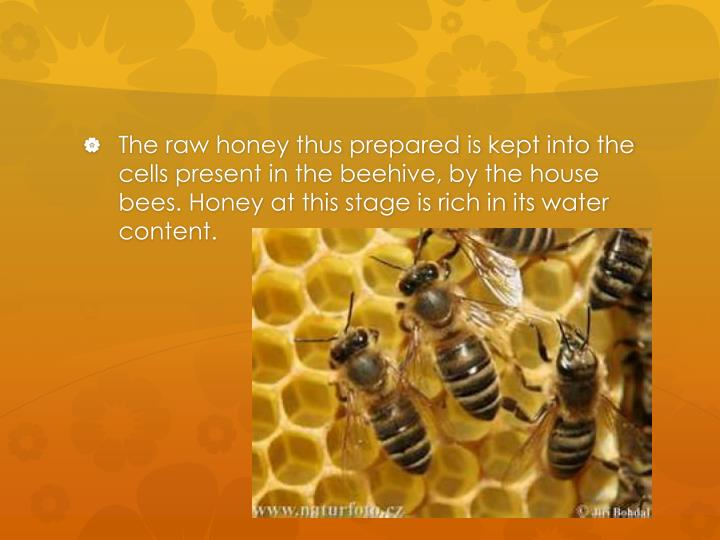 The raw honey thus prepared is kept into the cells present in the beehive, by the house bees. Honey at this stage is rich in its water content.