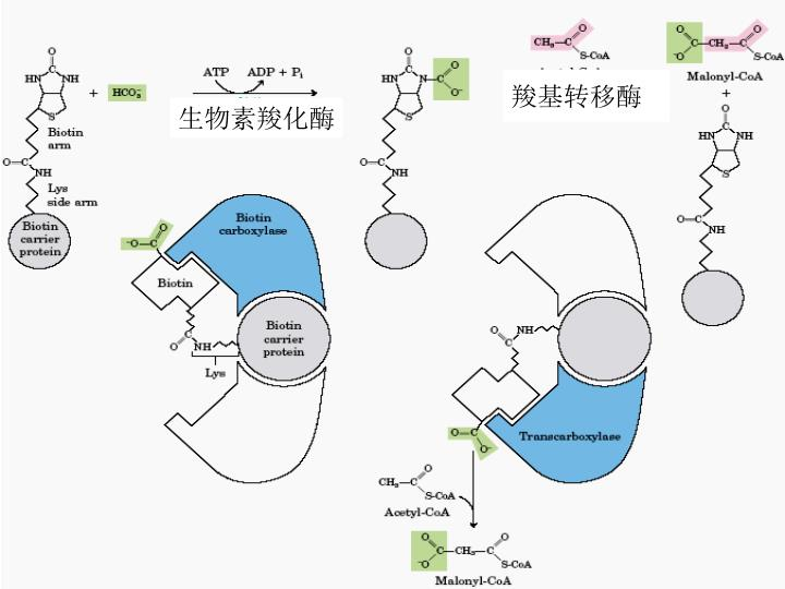 羧基转移酶