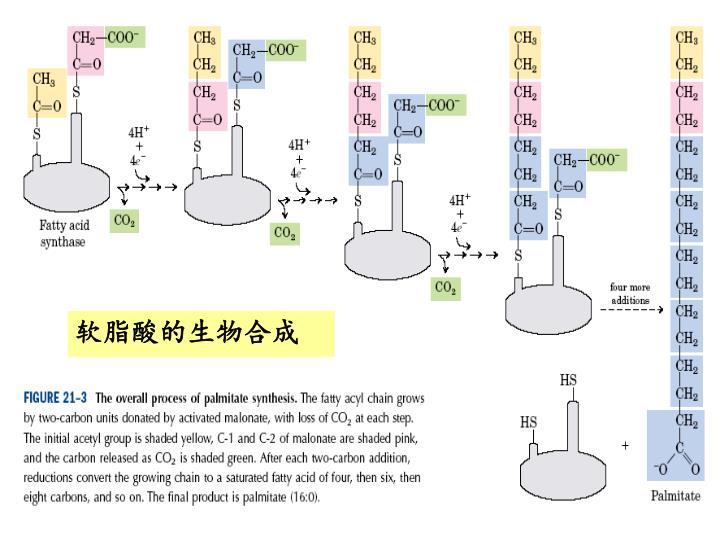 软脂酸的生物合成