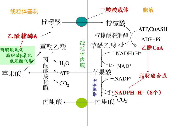 三羧酸载体