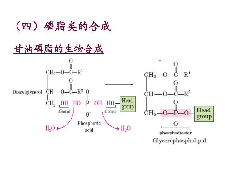 (四)磷脂类的合成