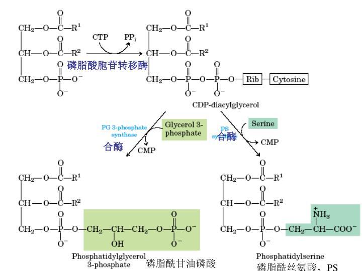 磷脂酸胞苷转移酶