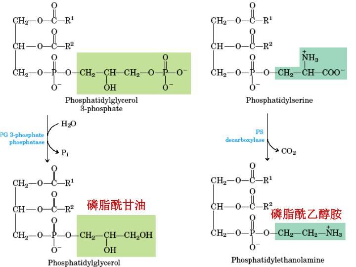 磷脂酰乙醇胺