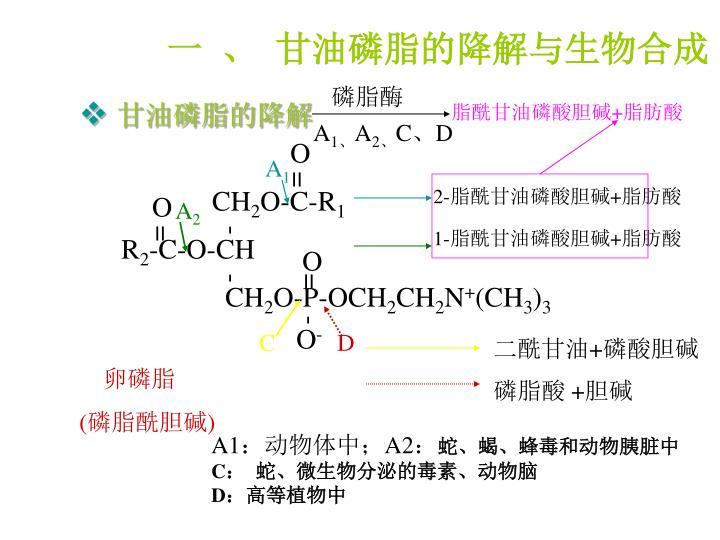 一 、 甘油磷脂的降解与生物合成