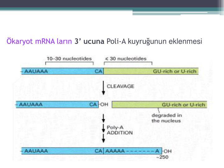 Ökaryot mRNA ların