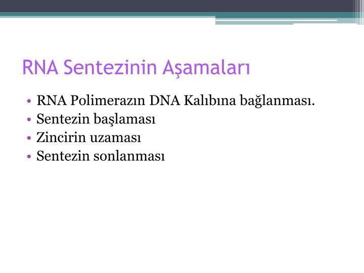 RNA Sentezinin Aşamaları