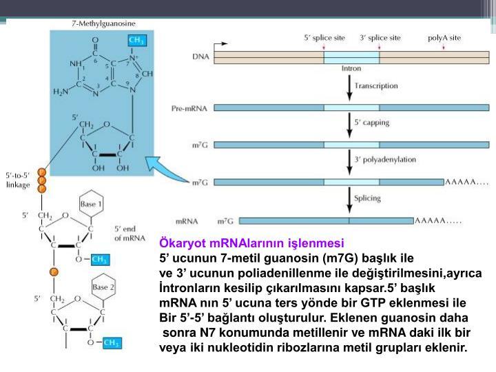 Ökaryot mRNAlarının işlenmesi