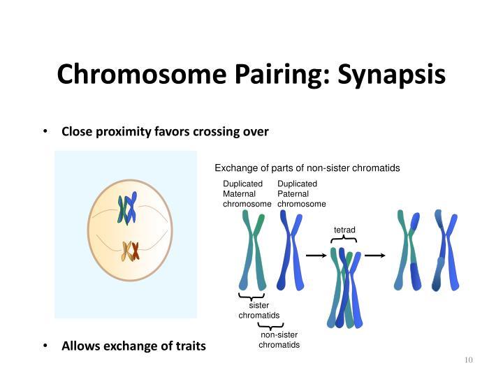 Chromosome Pairing: Synapsis