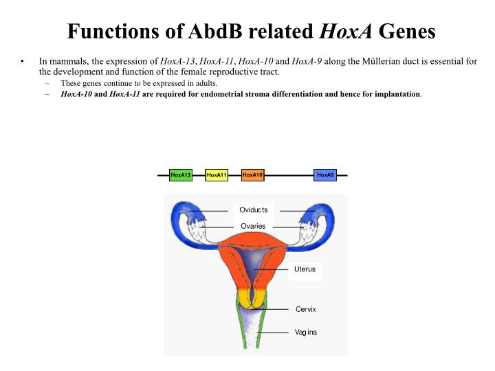 Functions of AbdB related