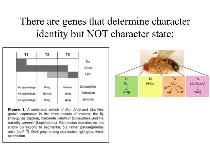 There are genes that determine character identity but NOT character state:
