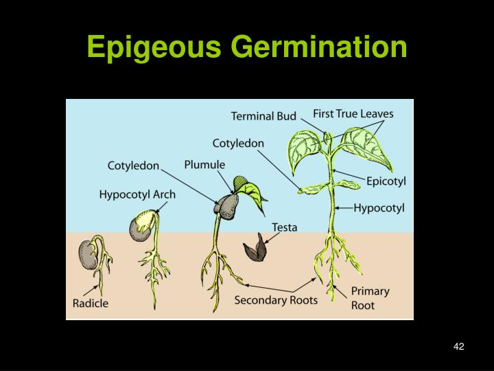 Epigeous Germination