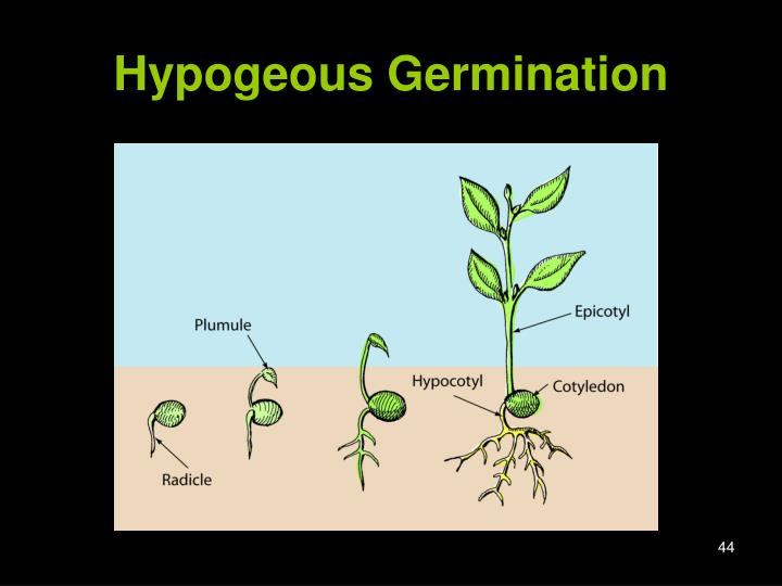 Hypogeous Germination