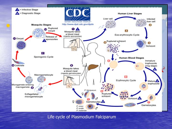 Life cycle of Plasmodium