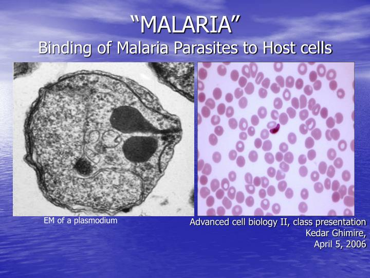 Malaria binding of malaria parasites to host cells
