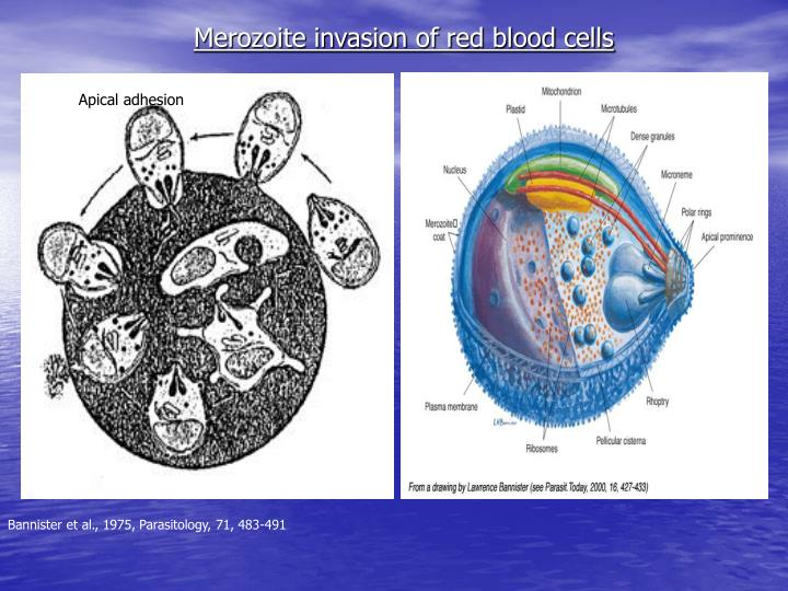 Merozoite invasion of red blood cells