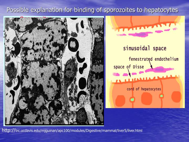 Possible explanation for binding of sporozoites to hepatocytes