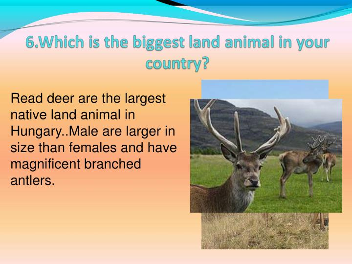 Read deer are the largest native land animal in Hungary..Male are larger in size than females and have  magnificent branched antlers.